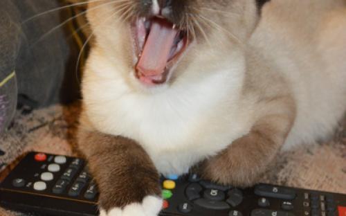 котята сноу-шу питомник кошек породы сноу-шу Nikolaevs pride*ru